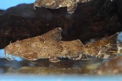 Erethistes filamentosus