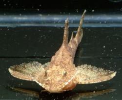 Erethistes mesembrinus