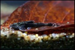 Erethistoides infuscatus