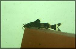 Glyptothorax anamalaiensis
