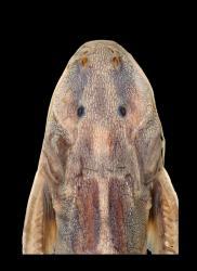 Glyptothorax lanceatus - Click for species page