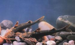 Glyptothorax longicauda - Click for species page
