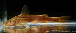 Glyptothorax longjiangensis