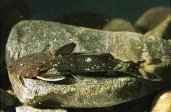 Glyptothorax major - Click for species page