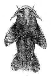 Myersglanis blythii