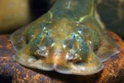 Oreoglanis macroptera