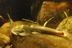 Pareuchiloglanis cf. longicauda - Click for species page