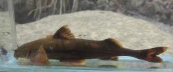 Pseudecheneis koladynae - Click for species page