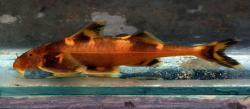 Pseudecheneis stenura - Click for species page
