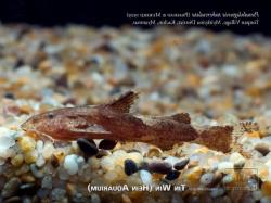 Pseudolaguvia tuberculata - Click for species data page