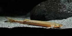 Henonemus punctatus - Click for species page