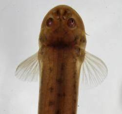 Pseudostegophilus maculatus