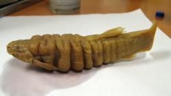 Rhizosomichthys totae