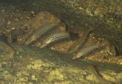 Trichogenes longipinnis