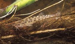Trichomycterus auroguttatus - Click for species page