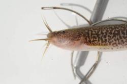 Trichomycterus brasiliensis