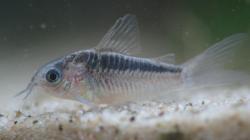 Corydoras(ln5) sp. (Cw064)