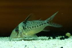 Corydoras(ln8sc4) sp. (C103)