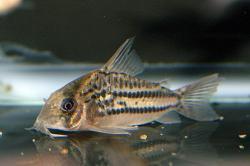 Corydoras(ln9) sp. (C133)