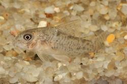 Corydoras(ln9) xinguensis