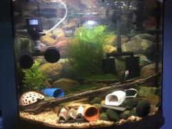 Super red calico/hillstream 30 gallon bow front