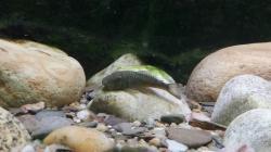 Chaetostoma tank