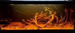 Corydoras Eques Species Only