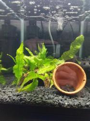 Golden Chinese Algae Eater Tank