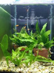 Red Wagtail Platy Fry Tank