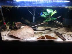 Corydoras CW009 aquarium, 15gal.