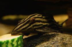 Panaque cf. armbrusteri`xingu`