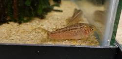 Corydoras(ln5) sp. (Cw008)