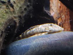 Chaetostoma sp. (L445)