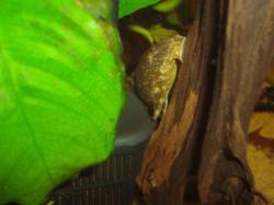Panaqolus maccus