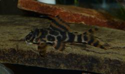 Peckoltia sp. (L494)