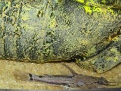 Acanthodoras spinosissimus