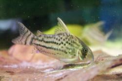 Corydoras(ln9) schwartzi
