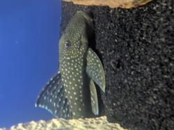 Hemiancistrus sp. (L128)