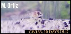 Corydoras(ln8sc4) sp. (Cw155)