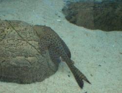 Hypostomus sp. (L119)
