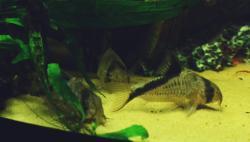 Corydoras(ln9) melini