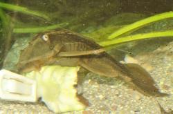Hypostomus soniae