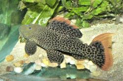 Pseudacanthicus cf. leopardus
