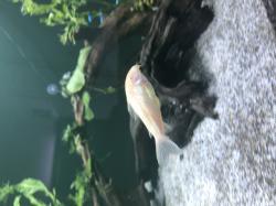 Corydoras(ln7) aeneus
