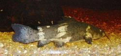 Batrochoglanis villosus